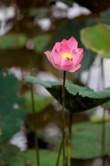 Розовый лотос в реке