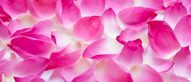 Розовые лепестки лотоса на белом фоне.