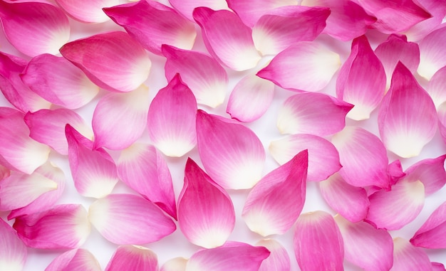 Pink lotus petals on white for background.