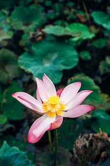 Pink lotus in pool