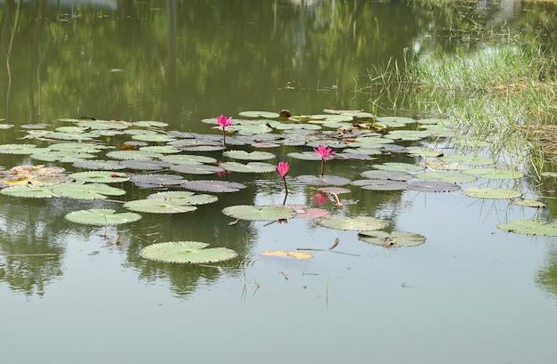 핑크 로터스, 연못에 수련.