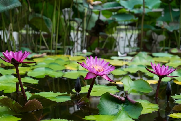 Pink lotus on water Free Photo
