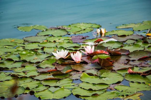 澄んだ水の中のピンクの蓮。池の美しい睡蓮。アジアの花-落ち着きとリラクゼーションの象徴。