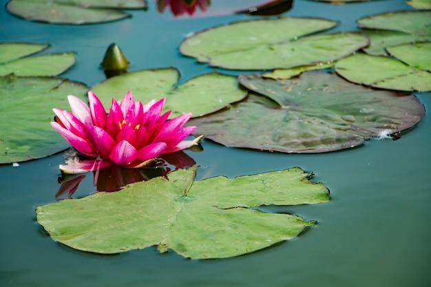 澄んだ水の中のピンクの蓮。池の美しい睡蓮。