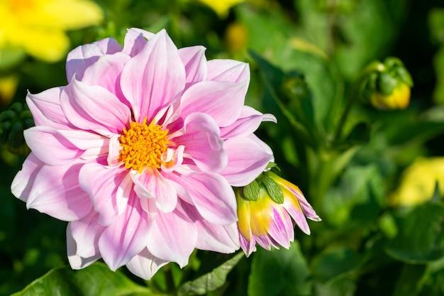 夏の庭のピンクの素敵なダリア多年生の花の造園造園
