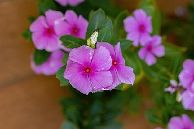 핑크 마다가스카르 페리윙클 꽃 종의 catharanthus roseus 선택적 초점