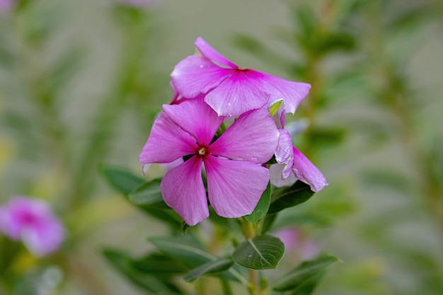 Pink madagascar periwinkle flower of the species catharanthus roseus with selective focus