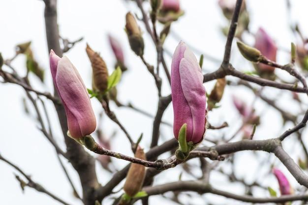 하늘 배경에 나무에 핑크 목련 꽃입니다.
