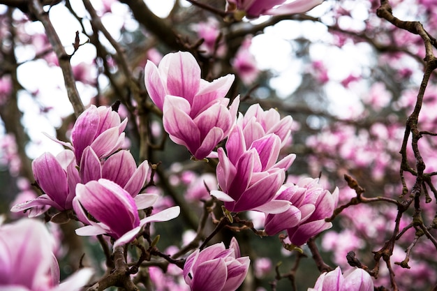 나뭇가지에 핑크 목련 꽃잎 클로즈업입니다. 나무에 보라색 튤립 목련 꽃입니다. 꽃 자연 배경입니다. 이른 봄. 러시아, 소치, 남부 문화 공원 25.03.2021