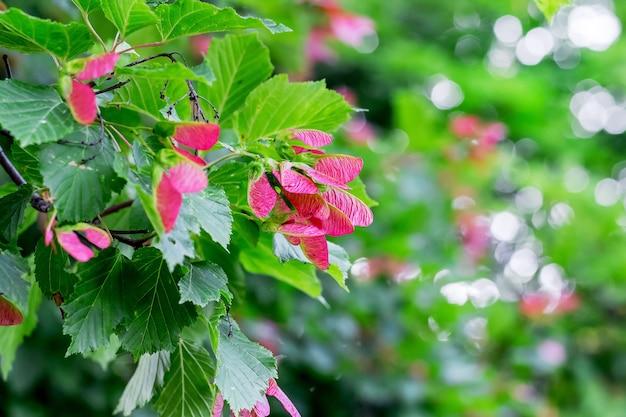 緑のぼやけた背景にピンクのメープルシード