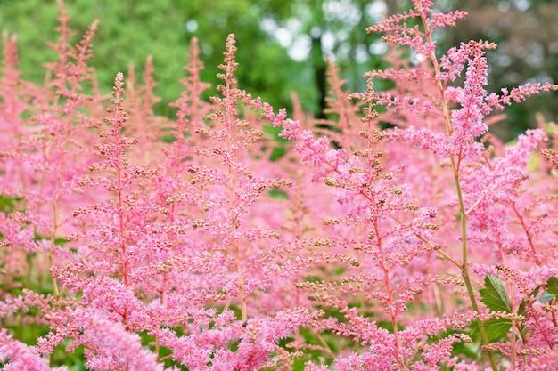 봄, 자연 경관, 노르웨이에서 핑크 초원 잔디.