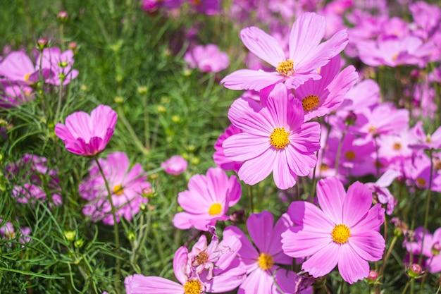 緑の葉の背景に庭の明るい日差しの日にピンクのメキシコアスターの花。コスモスビピンナトゥス。