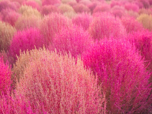 Pink muhly and kochia colorful in autumn at haneul park, south korean