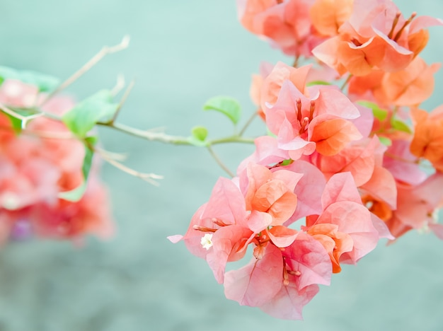 Pink orange bougainvillea flowering in spring, close up with morning sunlight.
