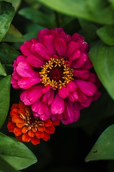 Pink and orange flowers of zinnia in green leaves