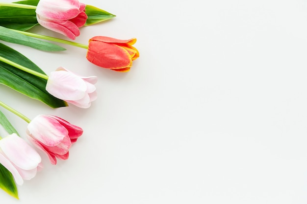 Pink and orange tulips on blank white background template