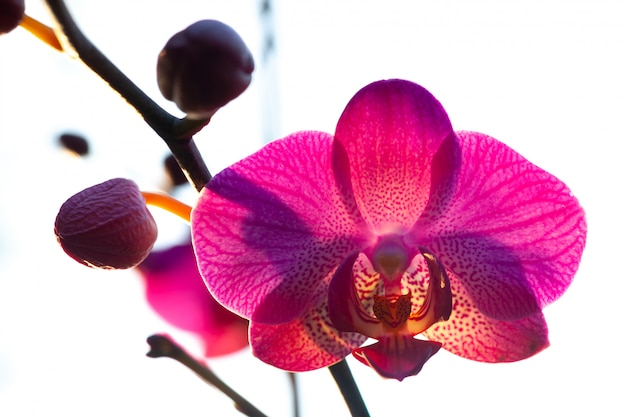 Pink orchid on backlight. phalaenopsis