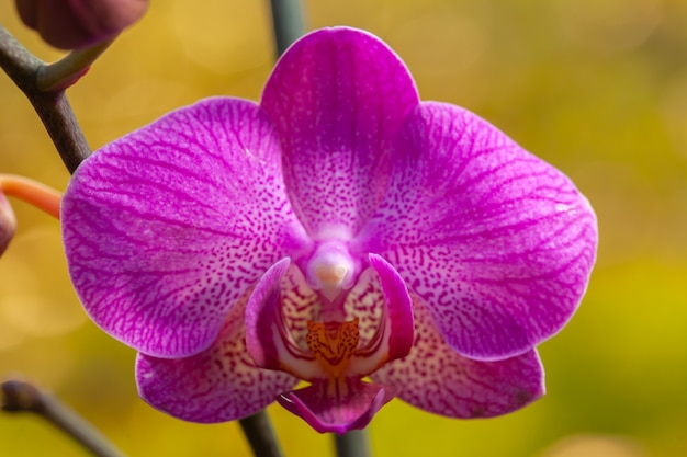 Pink orchid close phalaenopsis