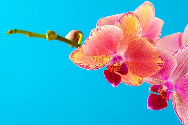 ピンクの蘭の花が青い背景にクローズアップ