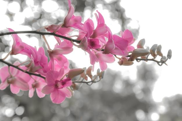 庭の概念のピンクの蘭の花bokehの背景は白黒です。