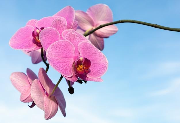복사 공간 하늘에 분홍색 난초 꽃