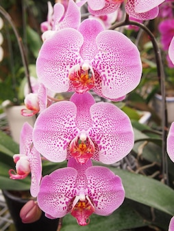 Pink orchid flower plants