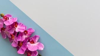 Розовые цветки орхидеи расположены на углу двойного фона