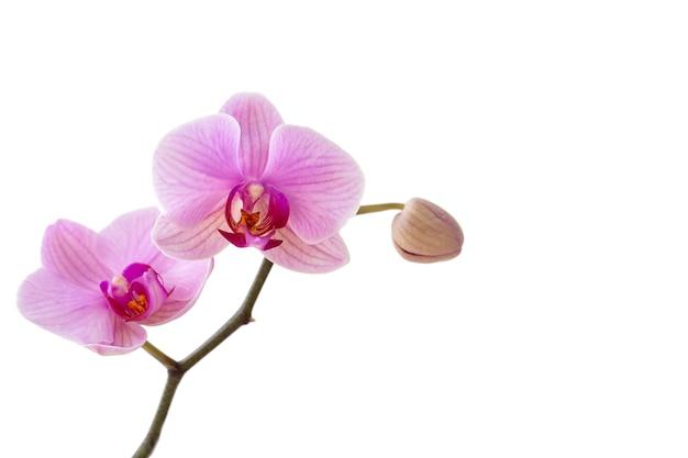 ピンクの蘭の花、コピースペースで白い背景に分離します。