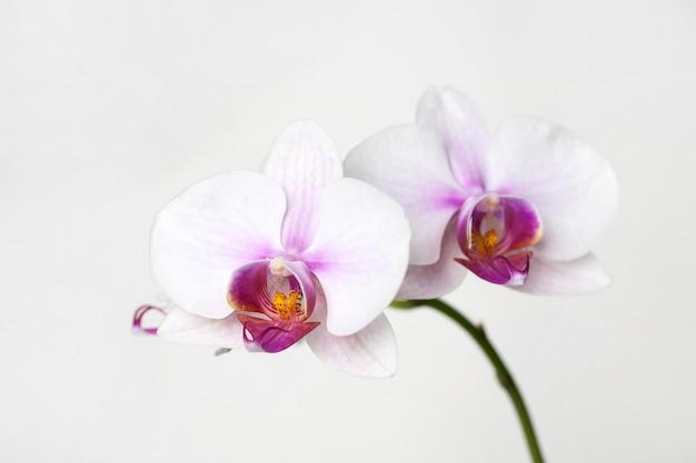 白い背景の上のピンクの蘭の花