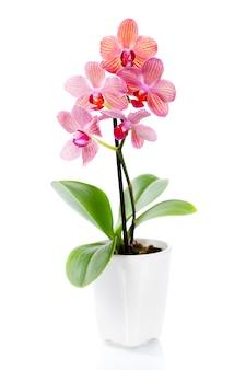 Розовая орхидея в белом вазоне