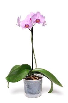 白い植木鉢のピンクの蘭