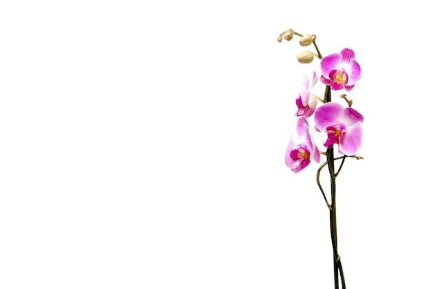 흰색 배경에 고립 된 분홍색 난초