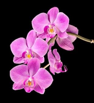 Розовая орхидея на черном