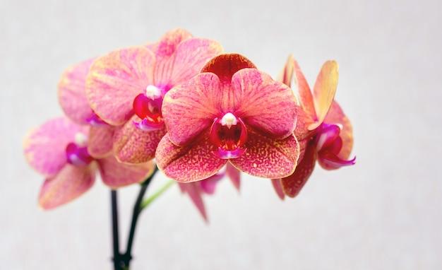 明るい背景にピンクの蘭