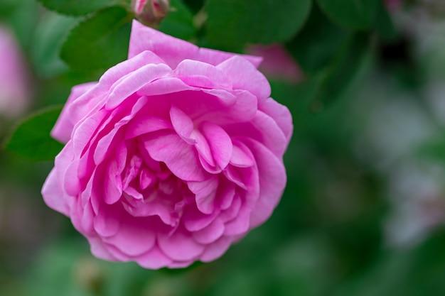 Pink pale roses bush over summer garden or park nature.