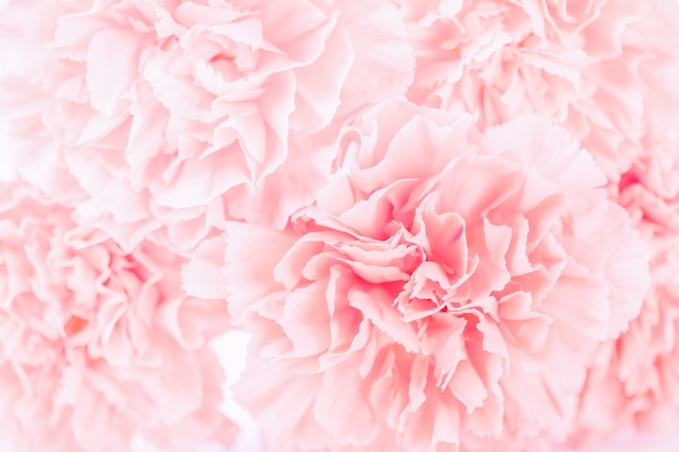 Pink pastel carnation flower