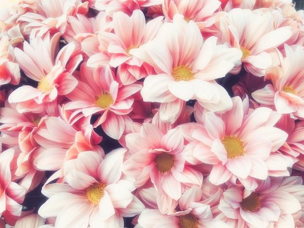 Розовый пастельный цветочный фон хризантемы с мягким фокусом