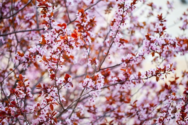 Pink peach flowers background.