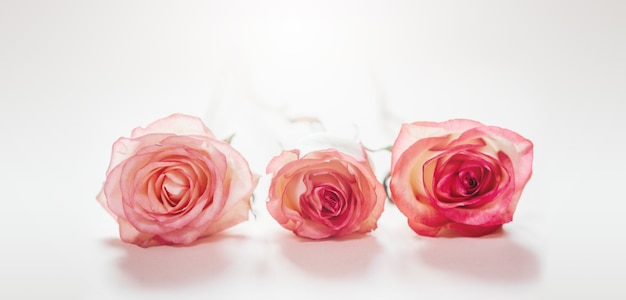 밝은 분홍색 배경에 고립 된 핑크 복숭아 장미 꽃