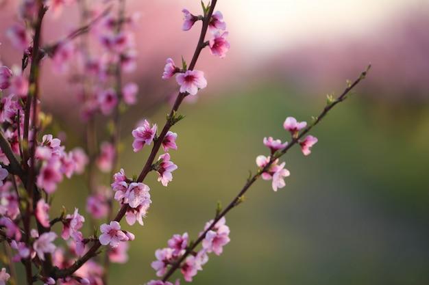 開花中の自然の庭でピンクの桃の木