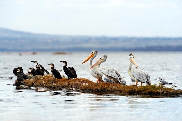 ナクル湖のピンクペリカン。アフリカ。ケニア。