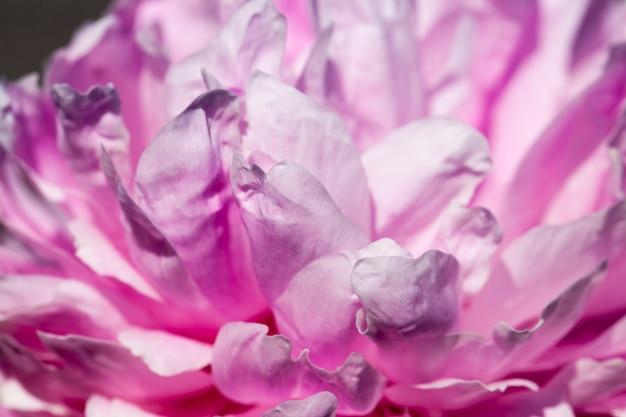 夏に咲くピンクの牡丹、領土を飾るための顕花植物