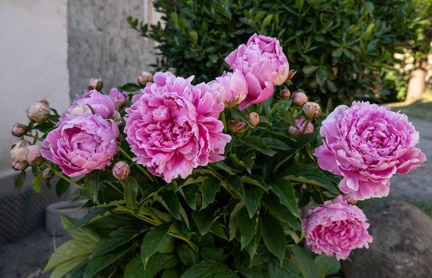 정원에 꽃이 만발한 분홍색 모란