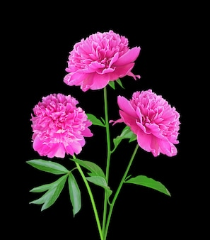 Pink peonies isolated on black background