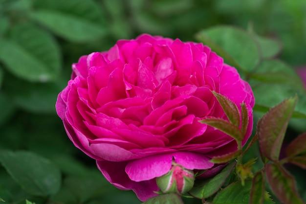 ピンクの牡丹春のぼやけた背景に美しい紫色の花大きな牡丹のクローズアップパステルカラーの草の花背景にぼやけた柔らかい色