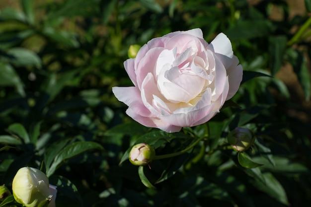 ピンクの牡丹が夏に庭に咲く