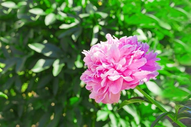 夏の庭にピンクの牡丹の花。ヴィンテージスタイルの美しい牡丹の背景。閉じる。