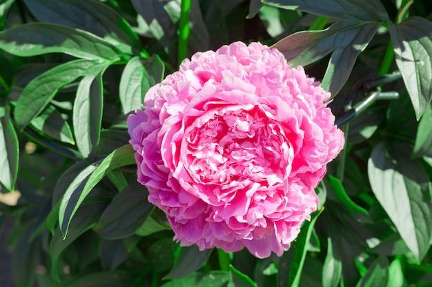 여름 시간에 정원에서 분홍색 모란 꽃. 빈티지 스타일의 아름다운 모란 배경. 확대.
