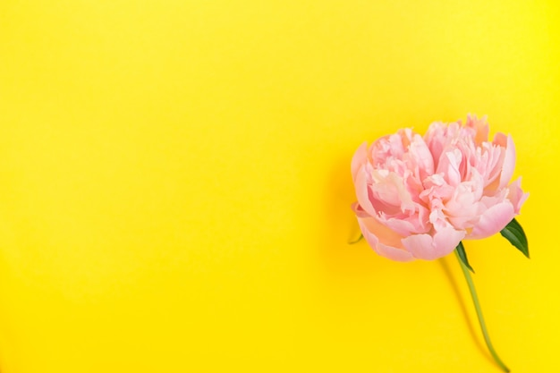 Pink peony flower on bright yellow background.