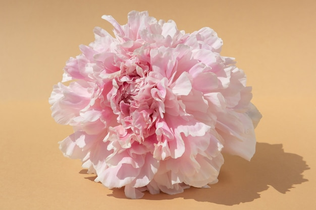 Pink peony flower bud on light brown background